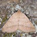 Speranza varadaria - Macaria varadaria - female