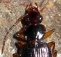 Beetle 52 - Cymindis platicollis