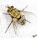 Gold Tachinid Fly - Chrysoexorista ochracea - female