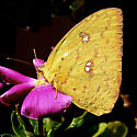 Orange-barred Sulphur - Phoebis philea - female