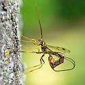 Bug on a Maple Tree - Megarhyssa macrurus - female