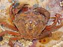 Green Crab - Carcinus maenas