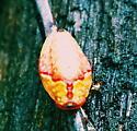 Slug Moth? - Tortricidia