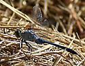 Great Blue Skimmer? - Erythemis simplicicollis - male