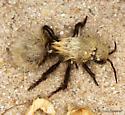 Dasymutilla - Dasymutilla sackenii - female