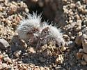 Dasymutilla - Dasymutilla gloriosa - female