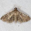 Moth IMG_0564 - Cryptobotys zoilusalis
