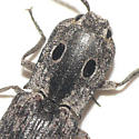 Click beetle (2) - Alaus myops