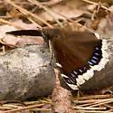 Species Nymphalis antiopa - Mourning Cloak - Nymphalis antiopa