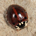Fifteen-spotted Ladybeetle - Anatis labiculata