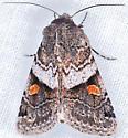 Moth, dorsal - Ulolonche fasciata