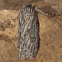Moth - Parexcelsa ultraria - female