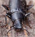 False Mealworm Beetle - Alobates pensylvanicus