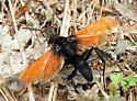 Some wasp(?) Photographed near Grand Canyon Caverns in Arizona, USA - Hemipepsis ustulata - male