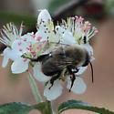 Southeastern Blueberry Bee (Habropoda laboriosa) on Aronia arbutifolia - Habropoda laboriosa