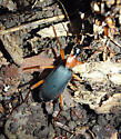 Galerita - Galerita bicolor