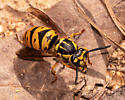 Hornets and Yellowjackets (Vespinae) » Ground Yellowjackets (Vespula): Variant Queen? - Vespula maculifrons - female
