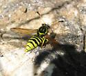 Pseudomasaris coquilletti - male