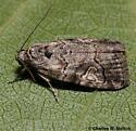 Moth - Metaponpneumata rogenhoferi