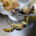 ID for tiny bee on Toyon? - Perdita - male