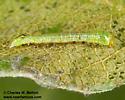 Larva Day 5 - Paraeschra tortuosa