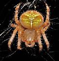Large spider - Araneus gemmoides