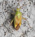 A True Bug ? - Closterotomus norvegicus
