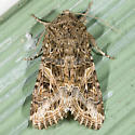 Yellow Western Striped Armyworm - Spodoptera praefica