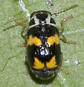 Case-bearing Leaf Beetle - Pachybrachis tridens