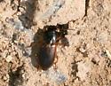 Which beetle? - Anisodactylus sanctaecrucis