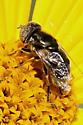 spotted eyes-fly - Eristalinus aeneus