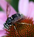Spilomyia fusca - male