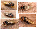 freeloader fly - Phyllomyza - female
