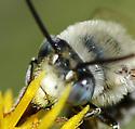 Anthophora urbana - male