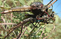 Robber fly w/tiger beetle prey - Proctacanthus milbertii - male