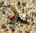 Another Beach Wasp