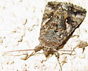 Owlet Moth? - Autographa californica