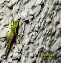 Katydid - Conocephalus fasciatus - male