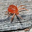 REALLY tiny red spider - Anystis