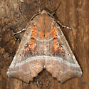 The Herald - Hodges#8555 - Scoliopteryx libatrix