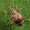 weevil - Neapion frosti