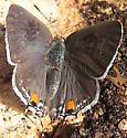 Early Hairstreak - Strymon melinus - female