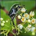 Unknown beetle - Trichiotinus lunulatus