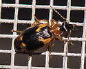 Lebia, or thereabouts? - Lebia analis