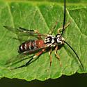 Ichneumon Wasp - Euceros - female