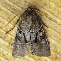 Moth-4 - Oligia minuscula
