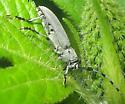 Beetle - Dectes texanus