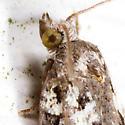 Moth - Acleris variana