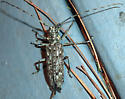Longhorned Beetle, Sawyers (Monochamus) maybe? - Monochamus notatus