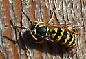 Maybe a Carpenter Bee? - Vespula pensylvanica